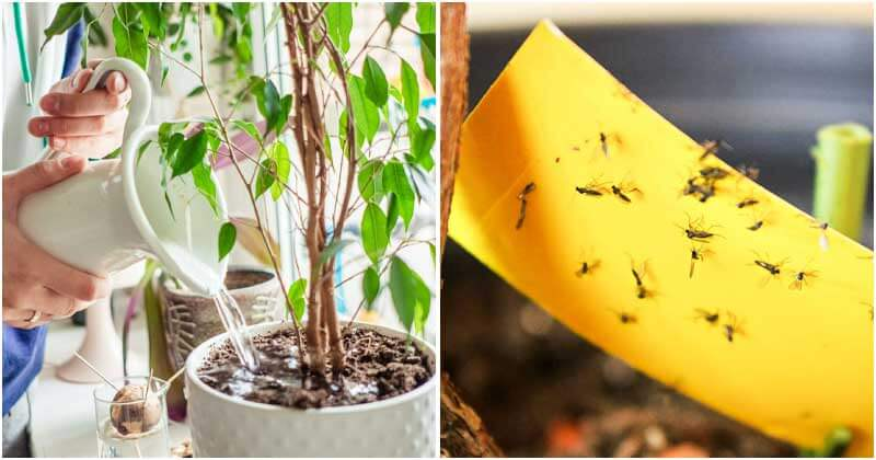 Ways To Remove Fungus Gnats From Your Houseplants