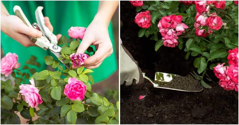 11 Clever Tips To Make Your Roses Bloom