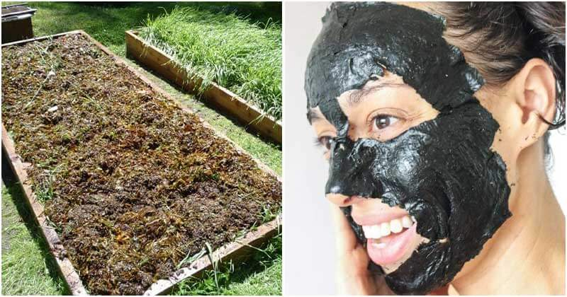14 Uses Of Seaweed Uses For The Home And Garden