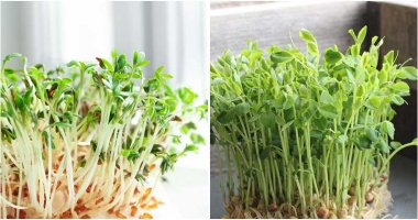 6 Microgreens To Grow In Your Kitchen Garden