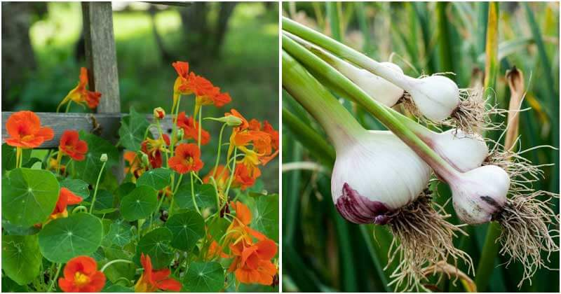 9 Companion Plants To Repel Aphids From Your Garden