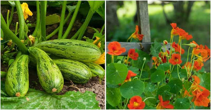 How to Repel of Squash Bugs from Your Garden?