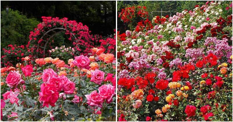 29 Best Beautiful Rose Garden Ideas