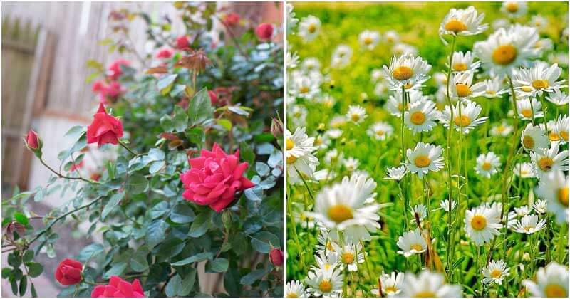 20 Beautiful Flowers for a Cottage Garden