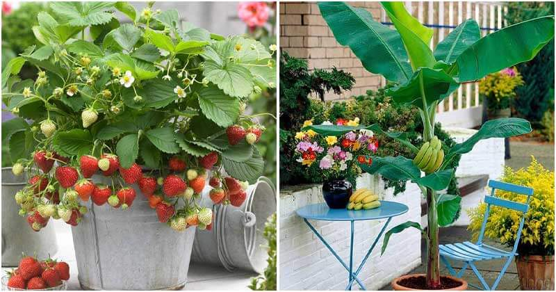21 Fruits That You Can Grow in Balcony, Rooftop, and Patio