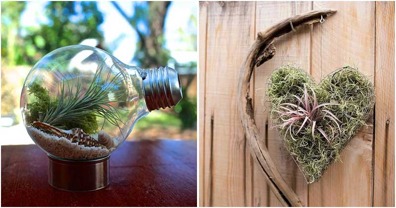 30 Amazing Air Plant Display Ideas