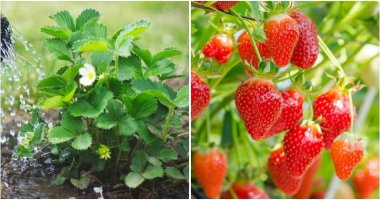 21 Best Strawberry Gardening Tips