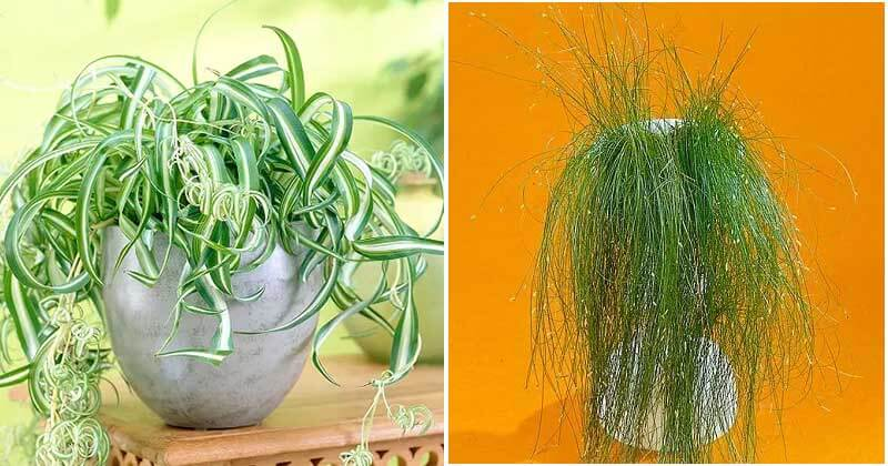 14 Strange Houseplants That Look Like Hair Strands