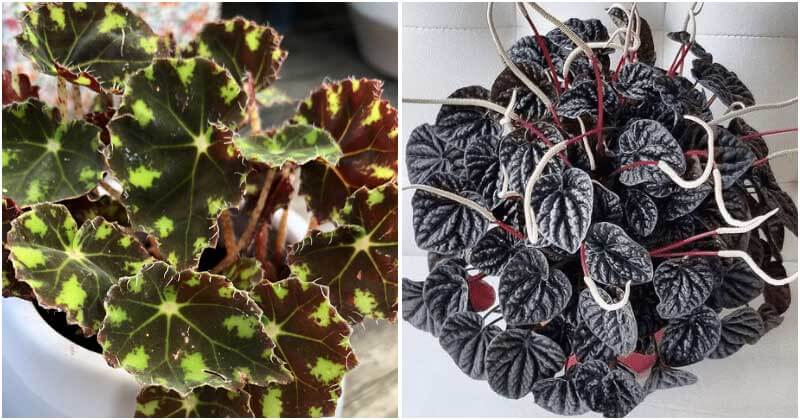 16 Beautiful Indoor Plants with Black Striped Leaves