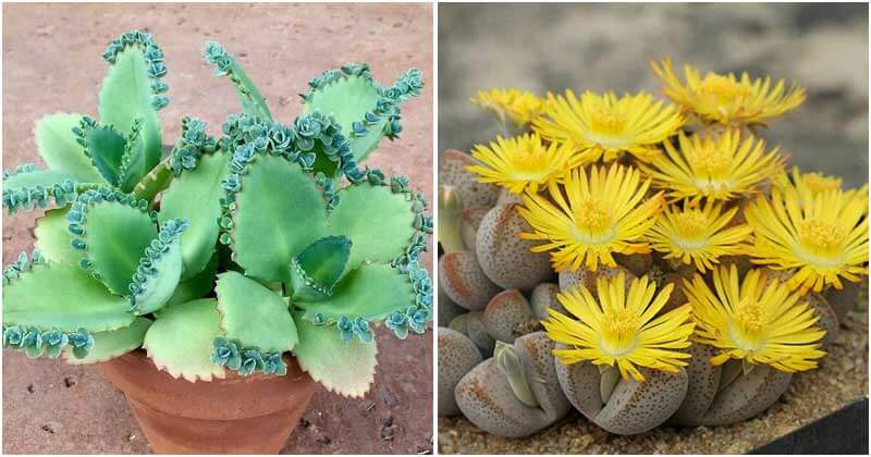 Lovely Succulents That Bear Pups To Grow In Your Home