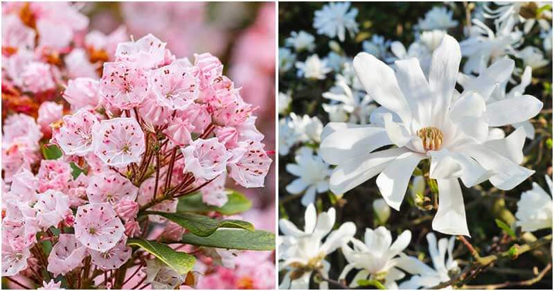 20 Beautiful Flowering Shrubs to Add Color in The Garden More Vivid