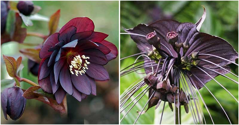 Unique Black Flowers And Plants To Add Attraction In The Garden