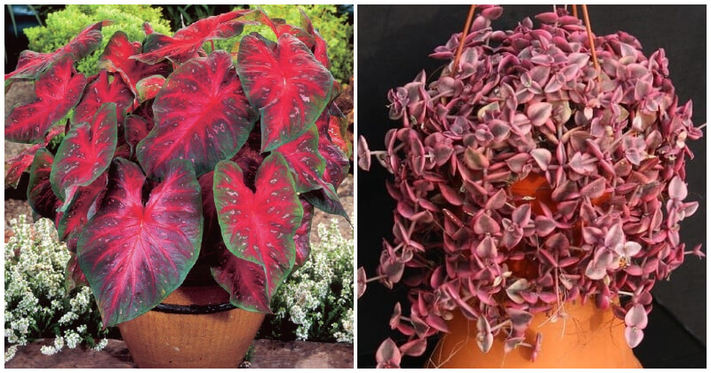 Appealing Red Heart Shaped Indoor Plants To Decor Your home More Charming