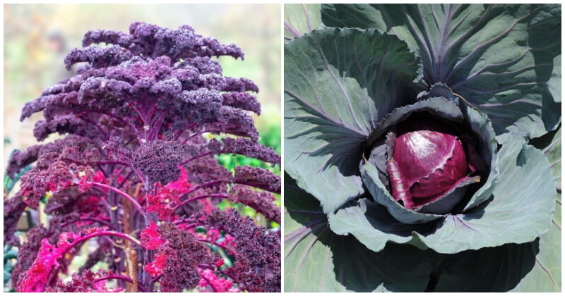 Red Vegetable Plants To Add Vivid Color In The Garden
