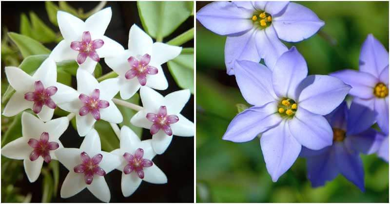Stunning Star-Shaped Flowers To Add In Your Garden