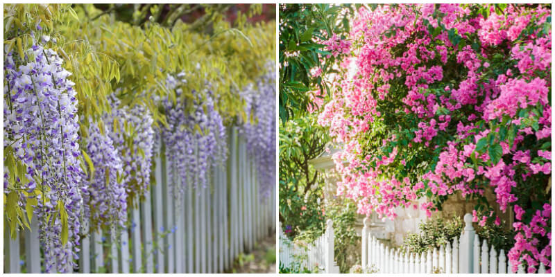 30 Best Plants to Cover a Fence Give A Beautiful Landscaping