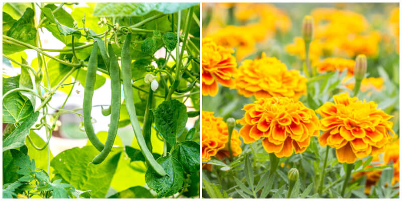 18 Companion Plants with Cabbage To Promote Growth