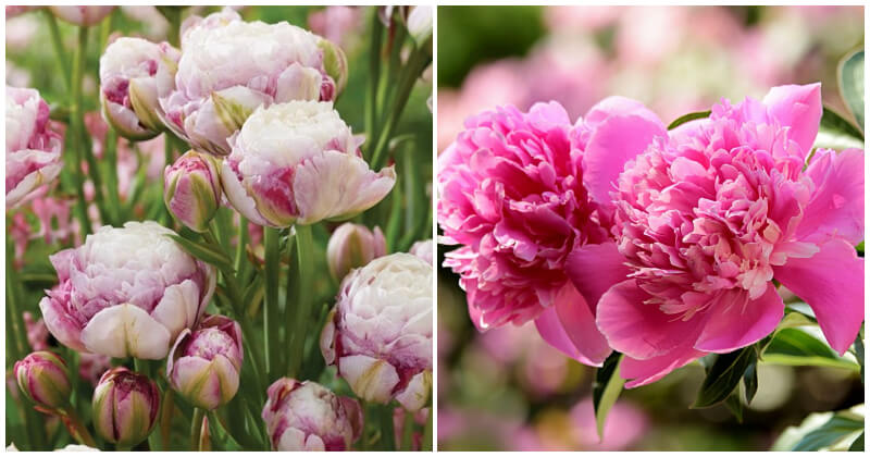 17 Flower Types That Look Like Roses