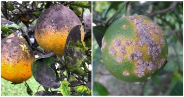 Popular Citrus Tree Diseases and Ways To Control Them