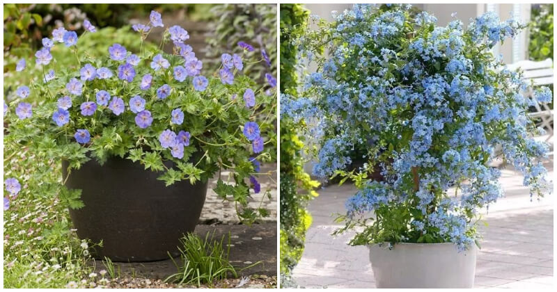 30 Best Beautiful Blue Flowers To Grow In Your Containers