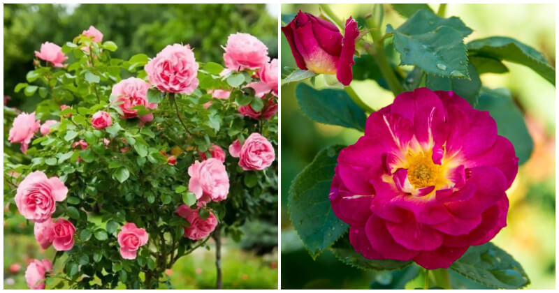 21 Best Beautiful Rose Types Without Thorns To Grow In Your Garden