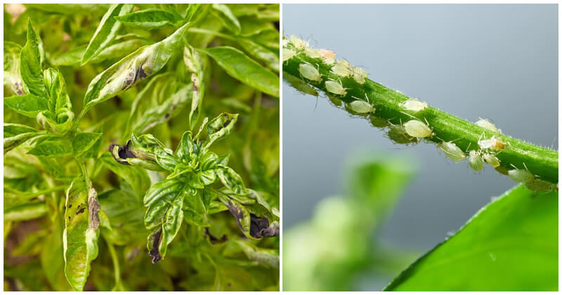 The Most Common Basil Herb Diseases and Pests You Should Know
