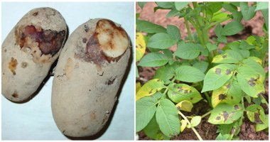 14 Most Common Potato Diseases and Pests, and Some Ways to Remove Them