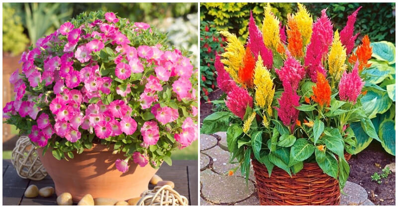 Beautiful Full-Sun Flowers For Container Garden