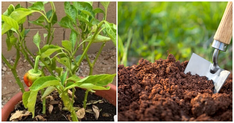 10 Common Mistakes When Growing Peppers That You Should Know To Avoid