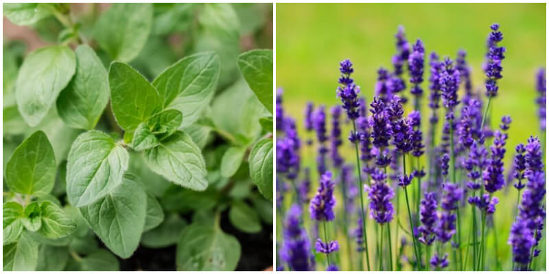 12 Plants and Herbs That Can Repel Insects In The Garden
