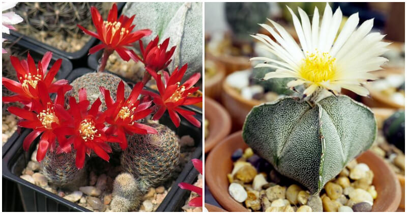 30 Fanciful Flowering Cactus Plants