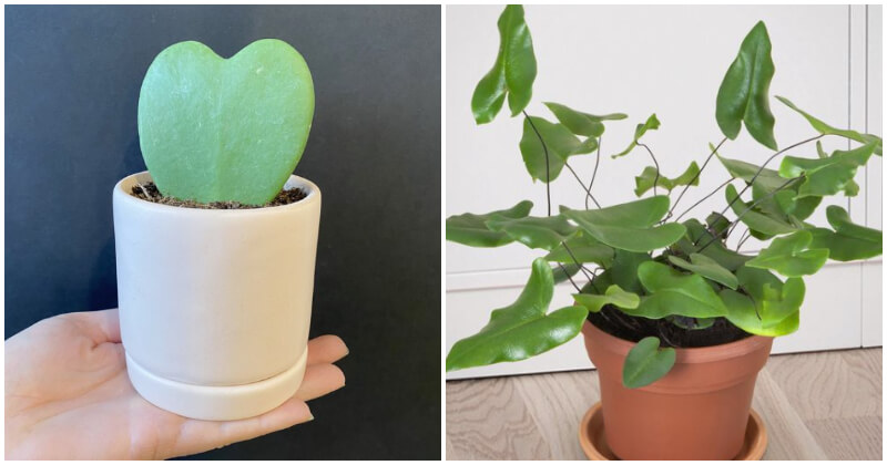 11 Unique Heart-Shaped Leaf Houseplants To Bring Romantic Vibes To Your Home