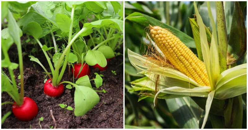 Best Zucchini Companion Plants For A High Yield