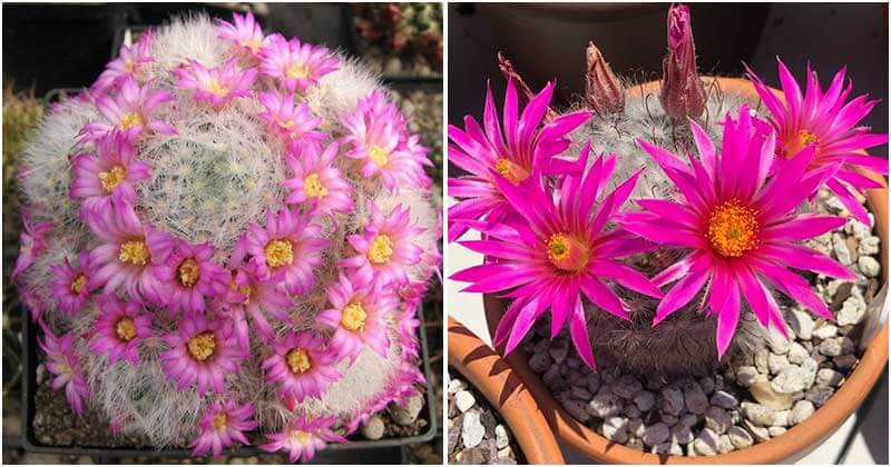 17 Types of Cactus Have Beautiful Pink Flowers