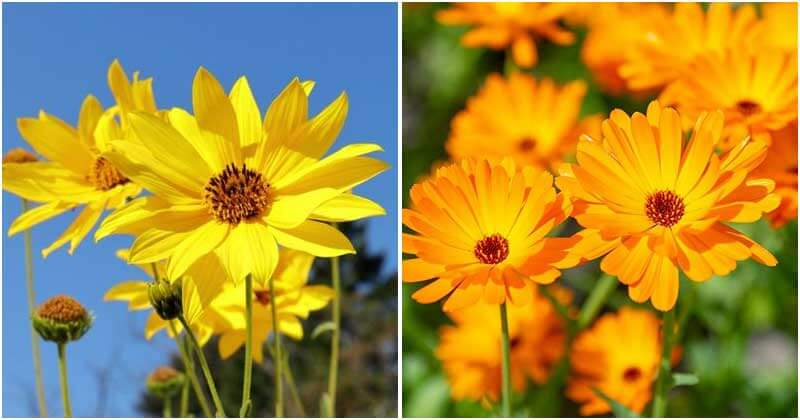 13 Stunning Types of Flowers That Look Like Sunflower