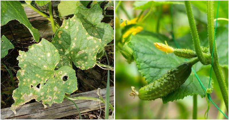 8 Common Cucumber Growing Mistakes You Should Know To Avoid