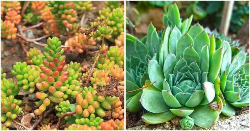 15 Types Of Succulent Ground Covers For Your Garden Landscaping
