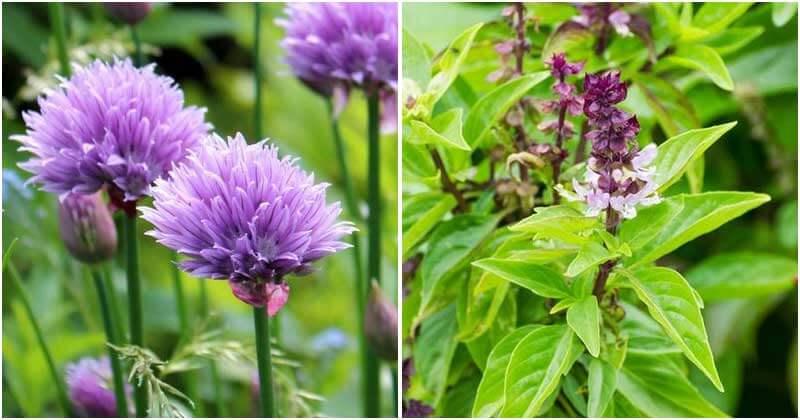 10 Herbs That Have Beautiful Purple Flowers