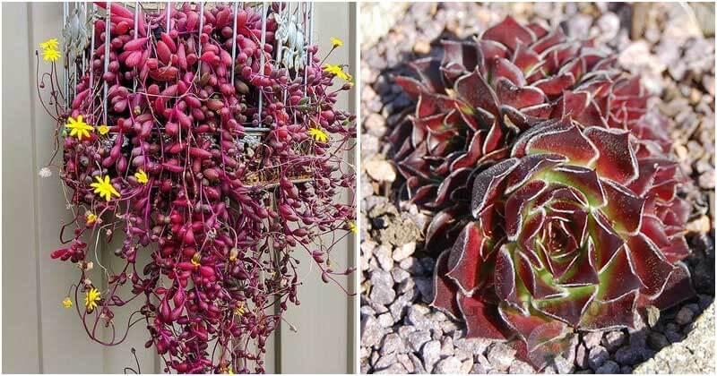 24 Beautiful Purple Succulents