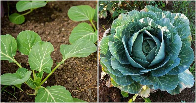 9 Common Mistakes When Growing Cabbage