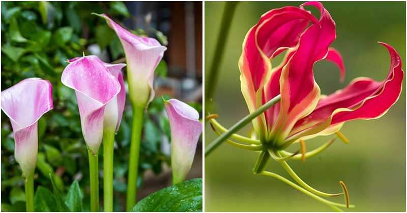 11 Stunning Summer Blooming Bulbs