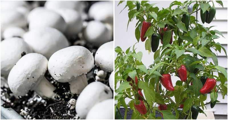 20 Edible Plants That You Can Grow Indoors Easily