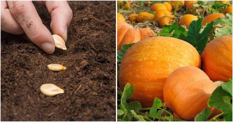 8 Mistakes to Avoid When Growing Pumpkins