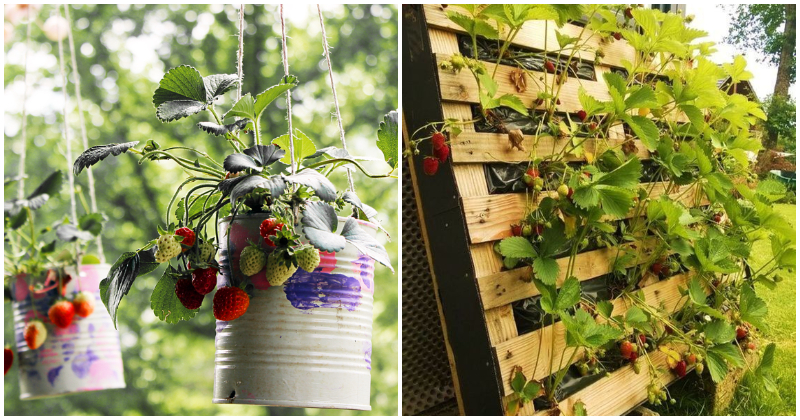 Easy DIY Strawberry Planter To Grow In Small Spaces