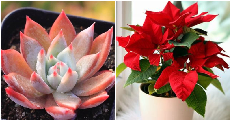 10 Beautiful Indoor Plants That Have Color Like Rose