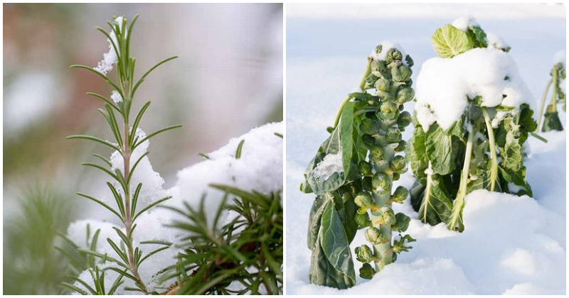 12 Popular Herbs and Vegetables That Grow Well In The Snow