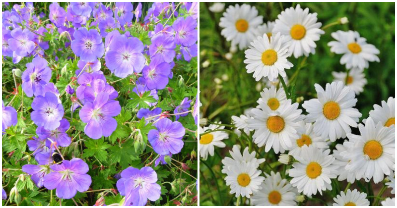 19 Longest Blooming Perennial Flowers That You Can Grow For Everlasting Beauty In The Garden