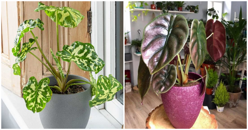 20 Beautiful Indoor Plants That Have Shaped Elephant Ear Leaves