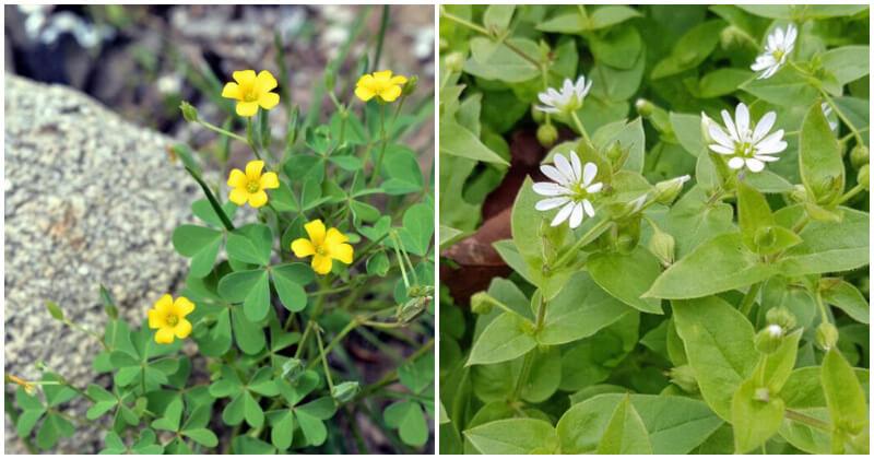 10 Best Nutritious Edible Weeds In The Garden