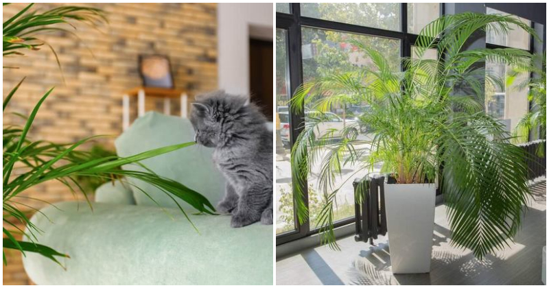 8 Awesome Areca Palm Benefits To Place Indoors